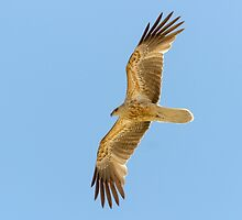 Whistling Kite by Teale Britstra