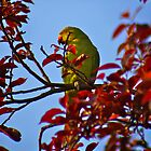 Parakeet in Sunbury Walled Garden by DExPIX