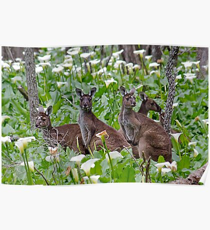 Kangaroos in the Tuart Forest Poster