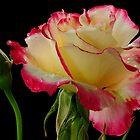 RED RIM ROSE by RoseMarie747