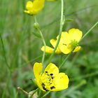 Beetle Buttercups by sweetairhead