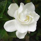 Beautiful Gardenia 4 by Christopher Johnson