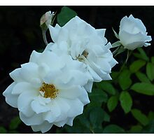 The White Roses of Cap Ferrat Photographic Print