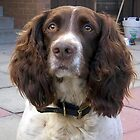 Moss...my beautiful Springer! by weecritter