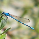 Lonely Dragonfly by R&PChristianDesign &Photography