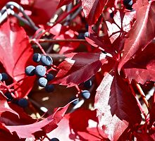 Virginia Creeper by Linda Bianic