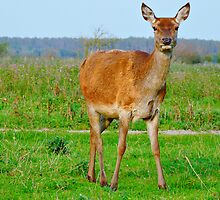 RED DEER DO AT THE OOSTVAARDERSPLASSEN by Johan  Nijenhuis