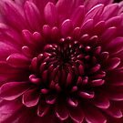 Chrysanthemum by Steve Mills