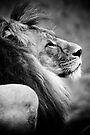 A lion in profile in monochrome by Elana Bailey