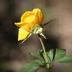 A Rose From Memories Past-Dedicated To My Dad by rasnidreamer