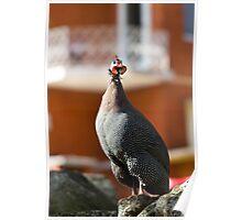 helmeted guinea fowl - k Poster