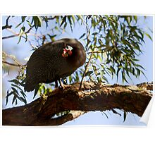 helmeted guinea fowl - r Poster