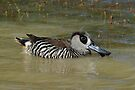 Pink eared Duck taken at Julia Creek in NQ. by Alwyn Simple