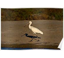Spoonbill at Montecollina Bore Poster