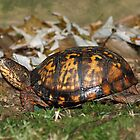Carolina Box Turtle by Bine