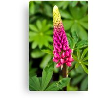 Lupin Canvas Print