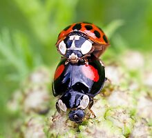 Making more ladybirds by Rachael Talibart