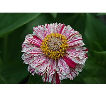 Multi-colored Zinnia Photographic Print