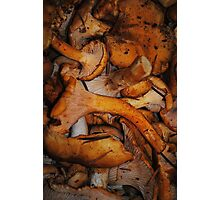 Chanterelle Mushrooms Photographic Print