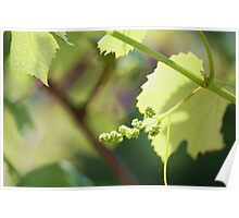 Grape study 1 Poster