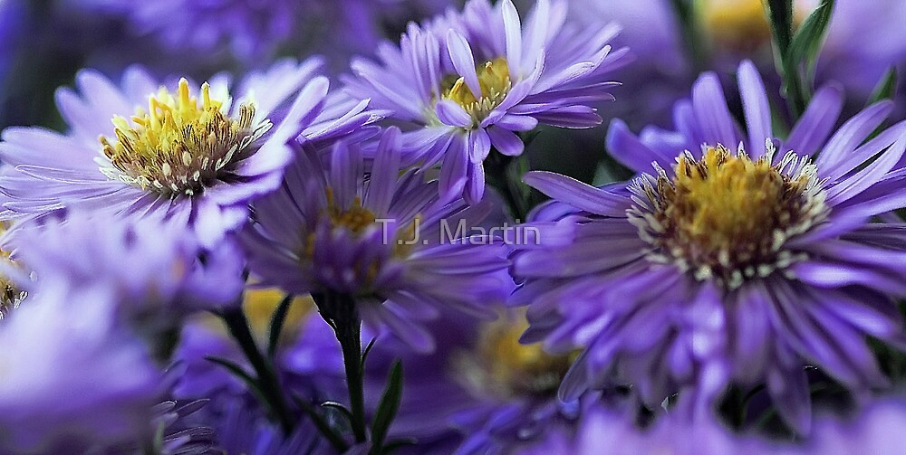-New England Fall Asters by T.J. Martin