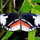 Piano key, heliconius melpomene by Arto Hakola