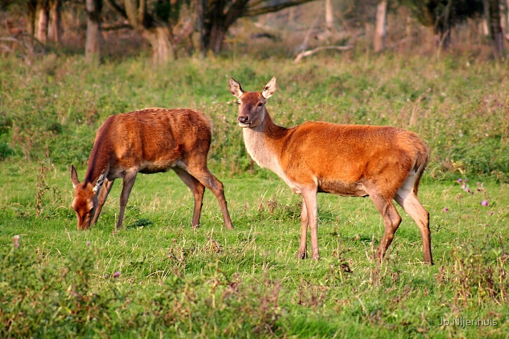 Two Old Ladies - Red Deer by Jo Nijenhuis