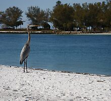 Bird on the Beach - Beer Can Island - Longboat Key by Chad Ely
