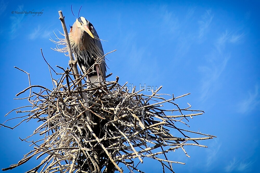 Great Blue Heron Nesting by Yannik Hay
