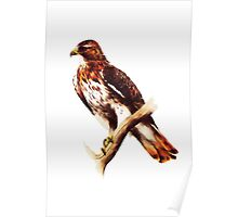 Red Tailed Hawk (Buteo jamaicensis) Poster