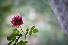 Rose by SylBe