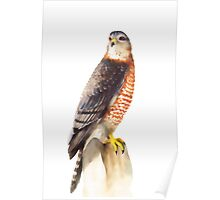Sharp Shinned Hawk (Accipiter striatus) Poster