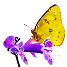 Orange Sulphur butterfly (Colias eurytheme) by Terry Bailey