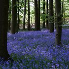 Bluebells in shade by Paul Richards