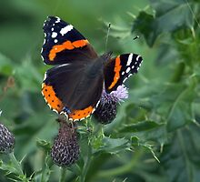 Red Admiral by Clive
