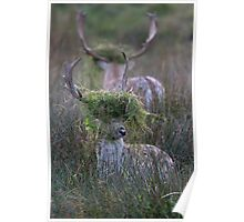 Rutting Fallow Stags Poster