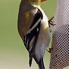 goldfinch by Bine