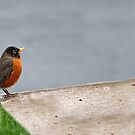 Wet Robin by Bine