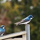 Tree Swallows by Bine