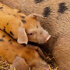 This little piggy-------- by LorrieBee