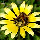 Honey Bee by Sarah Howarth [ Photography ]