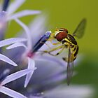 Hoverfly Holds on to Globe Thistle. by Daniel Cadieux