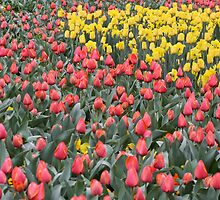 Spring has Sprung - Floriade 2011 by Kelly Robinson