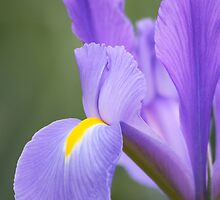 Iris Perfection - Floriade 2011 by Kelly Robinson