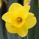 Daffodil Glory - Floriade 2011 by Kelly Robinson