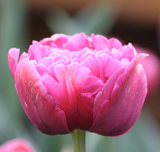 More like a Peony - Floriade 2011 by Kelly Robinson