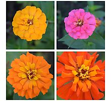 Zinnia Collection Photographic Print