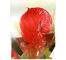Red Anthurium Poster