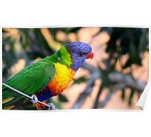 Rainbow Lorikeet on a Wire Poster