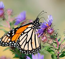 Monarch Butterfly by (Tallow) Dave  Van de Laar
